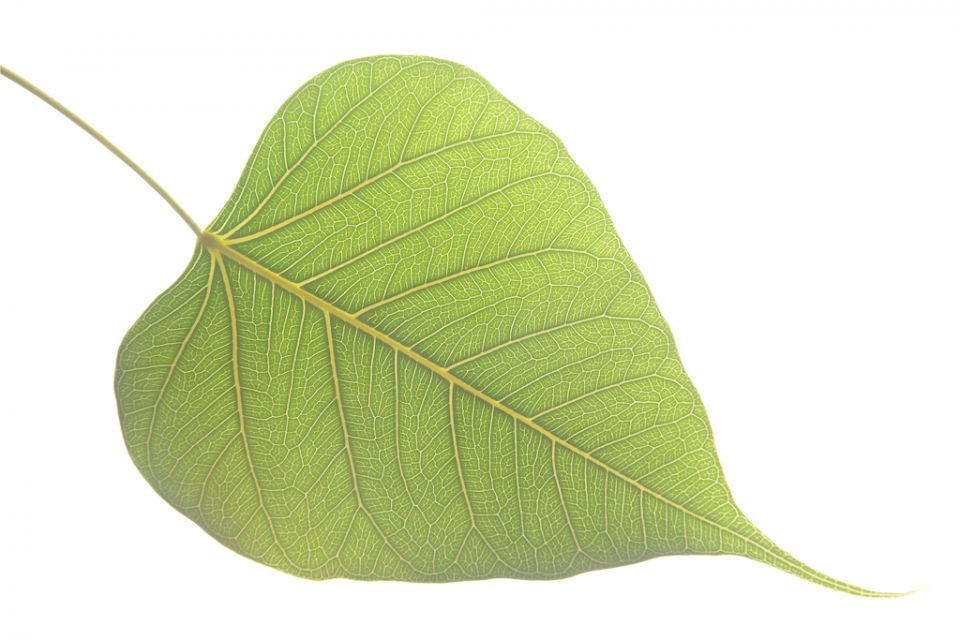 banyan tree leaf - photo #32