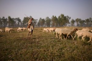 A shepherd on the plains of northern India.