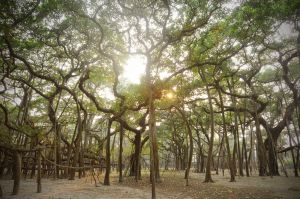 An ancient sacred banyan tree on the outskirts of Calcutta. Though it looks like a forest, it is actually one tree whose central trunk has died and rotted away.